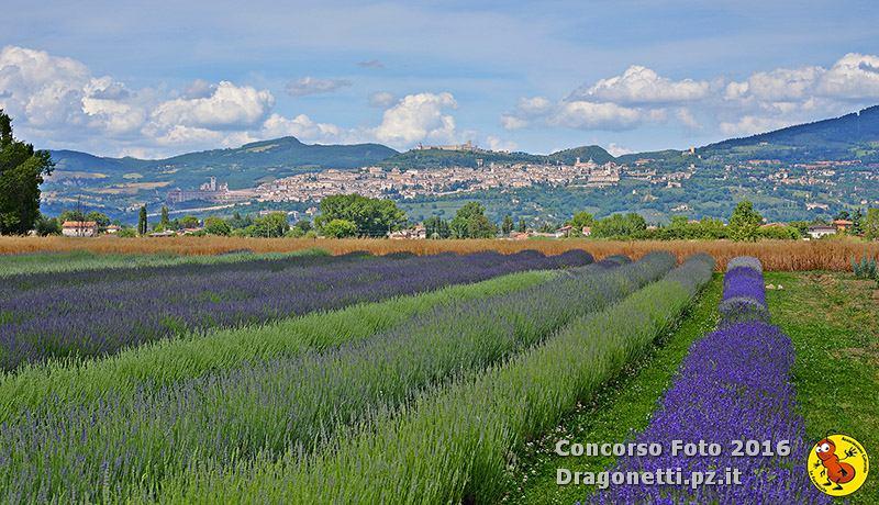 Assisi e la Lavanda 2016